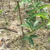 藤椒苗专业种植中心