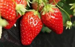 重庆哪里可以摘草莓