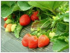 重庆巴南哪里可以摘草莓