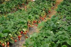 重庆草莓摘采