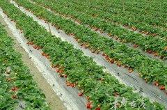 重庆草莓采摘价格