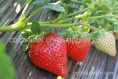 重庆草莓采摘多少钱