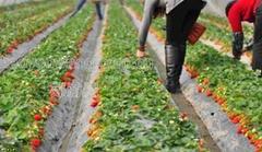 九龙坡草莓采摘