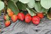 界石草莓采摘電話