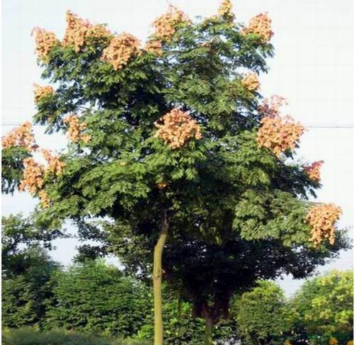 欒樹常見病蟲害的防治方法