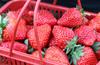 魚嘴鎮草莓摘采