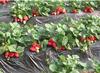 南橋寺草莓采摘