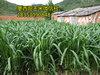 江西省养牛牧草品种墨西哥玉米种子批发价格图片
