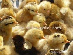 贵州土鸡苗养殖批发商