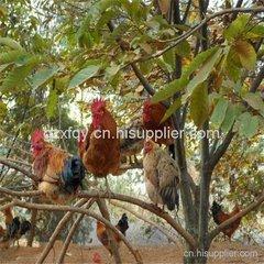 贵阳散养土鸡养殖基地