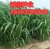 北方养羊牧草批发墨西哥玉米种子图片价格