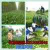 进口墨西哥玉米种子批发价格图片