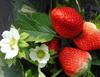 雙碑草莓采摘電話