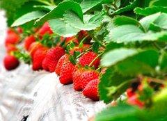 浙江草莓苗移栽