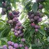 脆紅李生鮮水果