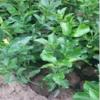 金秋砂糖桔苗的种植技术
