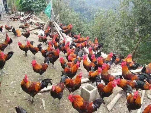 贵州贵阳山鸡苗养殖