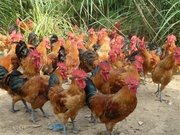 土鸡肉的营养价值