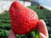 空港摘草莓路線