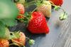 江北草莓采摘的電話