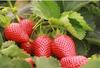 南山哪裏有摘草莓的果園