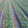 泗县草莓价格