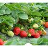 泗县哪里有草莓