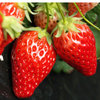 泗县好吃的草莓