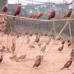 眉山养殖七彩山鸡苗的农场
