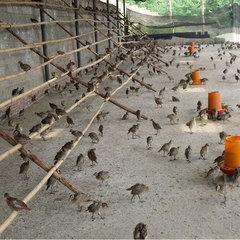 四川省七彩山鸡养殖图片