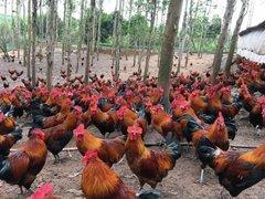 贵阳鸡苗养殖批发哪里有