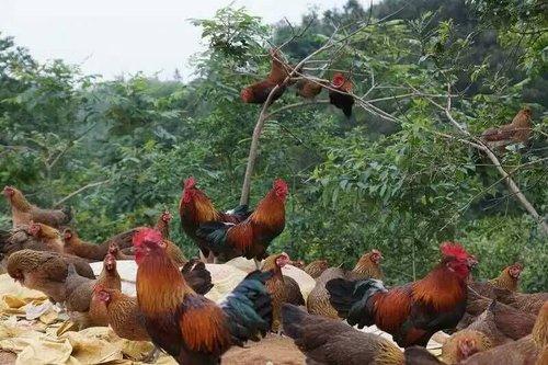 贵阳鸡苗养殖批发基地