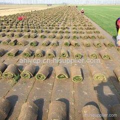 郑州黑麦草