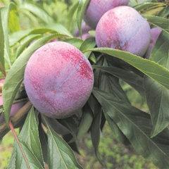 脆紅李的種植技術