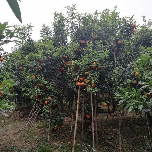 沃柑果苗批发哪里有