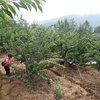脆紅李種植基地