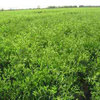李子苗的栽种条件