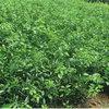 李子苗品种种类
