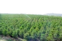 貴陽苗木銷售報價