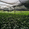 藤椒苗种植方法