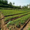 藤椒苗种植要求