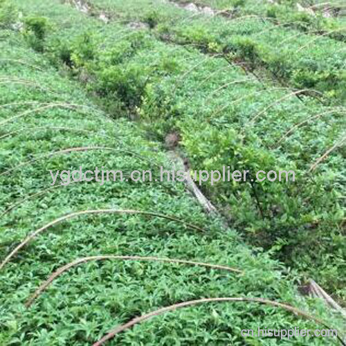 藤椒苗种植环境