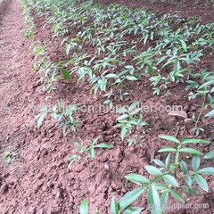 藤椒苗低价批量出售