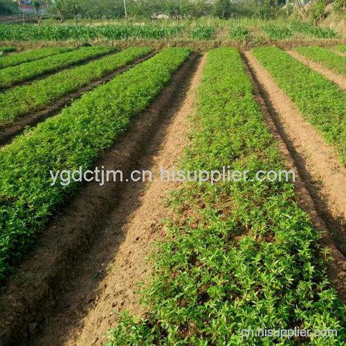 藤椒苗的产地