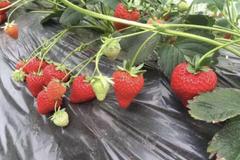 重庆草莓种植基地