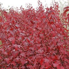 郑州红叶杨种植