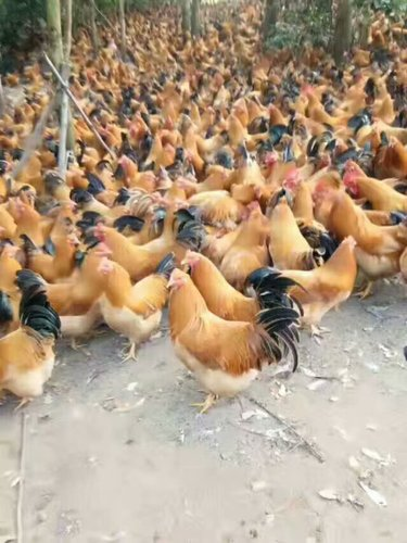广西土鸡养殖供应商