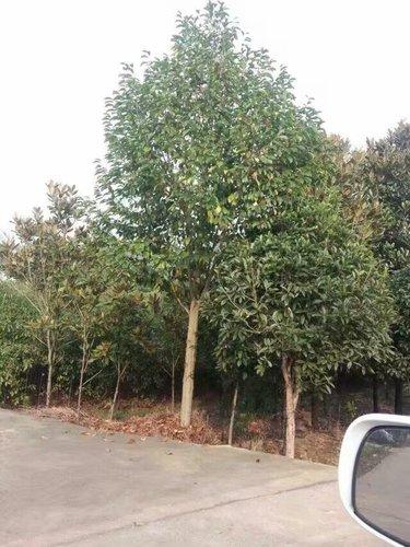 贵州苗木采购价格