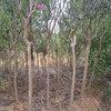 贵州绿化苗木供应价格