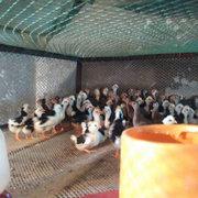 七彩山鸡苗养殖场该如何喂养鸡苗呢
